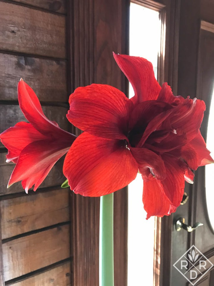 Double amaryllis 'Inferno' bloomed once at Christmas and again for Valentine's day. If the leaves don't appear after the first stalk has flowers, another one is coming.