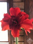 Hippeastrum 'Inferno' was so beautiful this year.