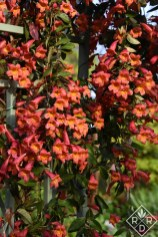 Bignonia capreolata 'Tangerine Beauty' crossvine. This vine is native to Oklahoma and Texas and shouldn't be confused with trumpet vine which is invasive. This photo wasn't enhanced, but the morning sun was shining on the blooms.