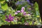 Clematis 'Fireworks' Rain-soaked garden