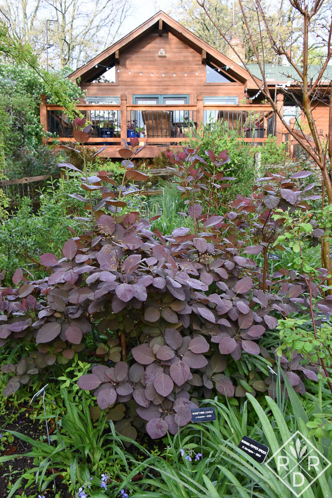 'Grace' smokebush in the back garden. I'm standing in the middle of the back garden and taking the photo from there.