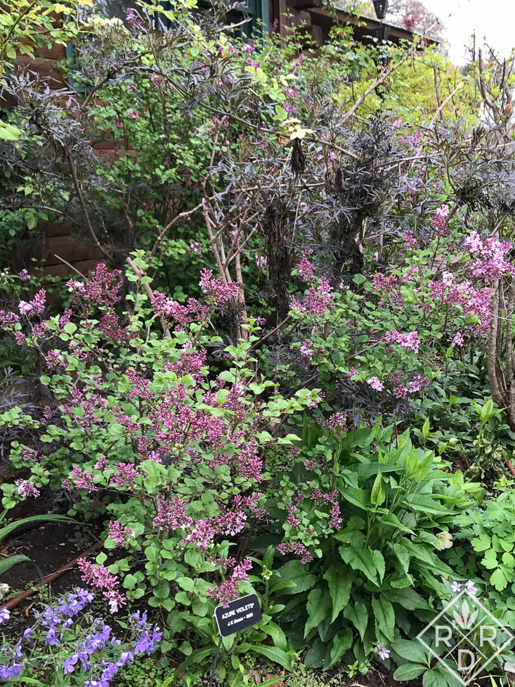 'Miss Kim' lilac next to Black Lace® Sambucus. Flower bed