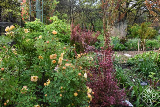 The lower part of the back garden has four long beds that were once vegetable beds. This OSO Easy Paprika rose, which was a trial plant, sits in the second bed from the left. It is a rock-solid beautiful rose that blooms all summer with some deadheading. I use shears.