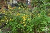 Single-blooming Japanese kerria.