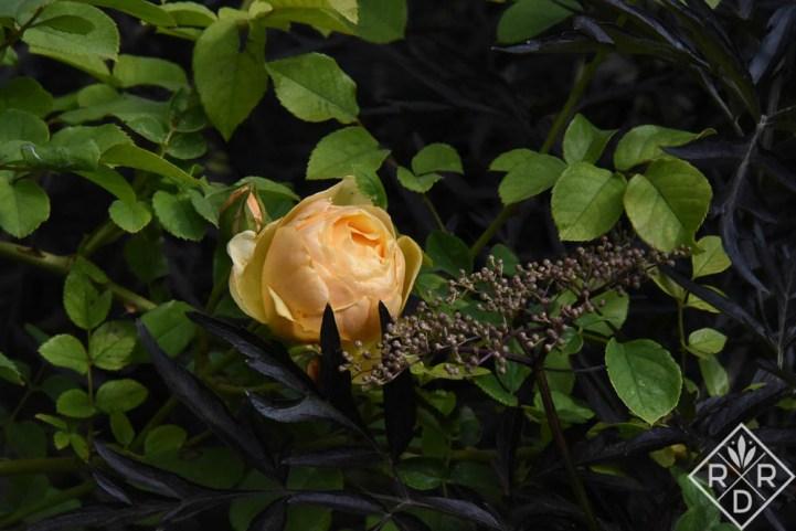 Rosa 'Graham Thomas' with Black Lace Sambucus (elderberry.)