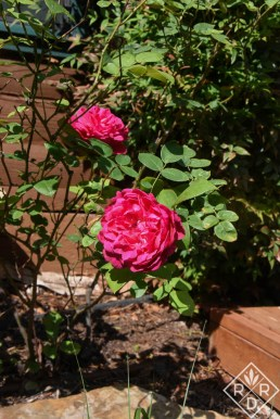 Rosa 'Sophy's Rose,' an older David Austin variety I've grown since its introduction in 1997.