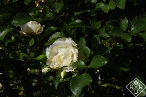 Rosa White Meidiland, a favorite every year.