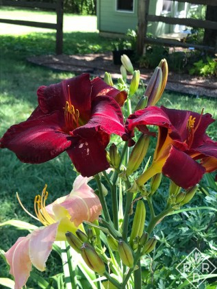 Hemerocallis 'Father James Foster' daylily, one of the most intense and bluest reds I've ever seen.