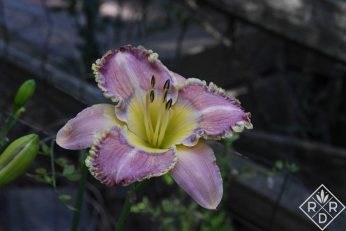 H. 'Mystical Intuition' daylily (Petit 2011)