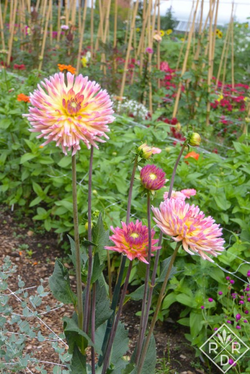 Beautiful dahlia in the Hillwood cutting garden, my favorite spot on the tour.