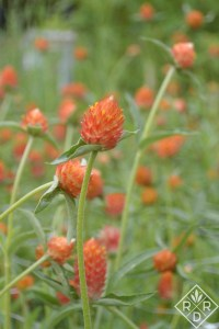Peachy orange gomphrena in the cutting garden.