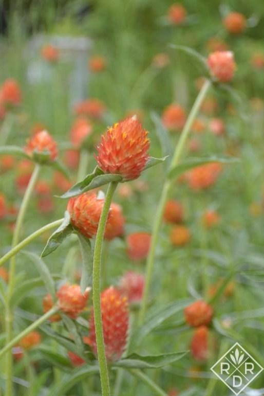 Peachy orange gomphrena in the cutting garden.