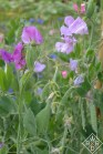 Sweetpeas in the cutting garden at Hillwood. I love sweetpeas.