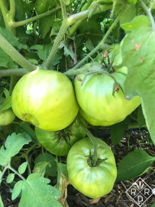 Whopper tomatoes in the green. Good eating coming soon.