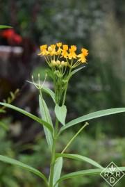 Asclepias curassavica Silky Gold, tropical milkweed