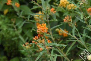 Asclepias tuberosa, butterfly weed up close