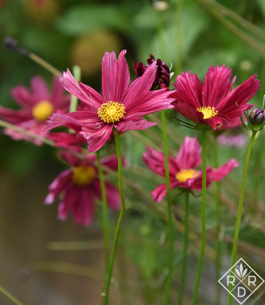 Cosmos 'Rubenza' from Floret Seeds.