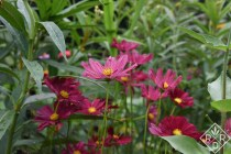 Cosmos 'Rubenza' from Floret Seeds. I've enjoyed all of her seeds this year. Bought them early spring.