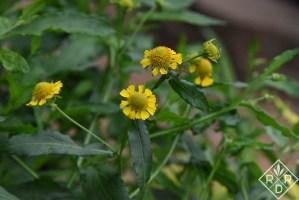Helenium autumnal, autumn sneezeweed-2