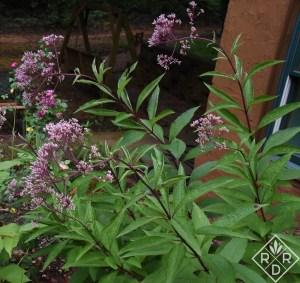 Eutrochium dubium 'Little Joe' Joe pye weed.