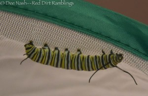 "Monarch caterpillar in its enclosure getting ready to make its ""j"" and become a chrysalis."
