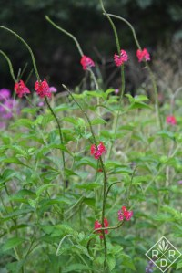 Stachytarpheta 'Nectarwand Red', red false vervain, which is a Bustani Plant Farm introduction.