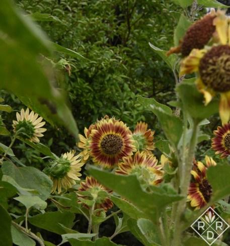 Sunflower Crimson Blaze