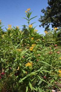 One of my three tropical milkweed stands. I also grown swamp milkweed and butterfly weed. The one the Monarchs like least is butterfly weed.