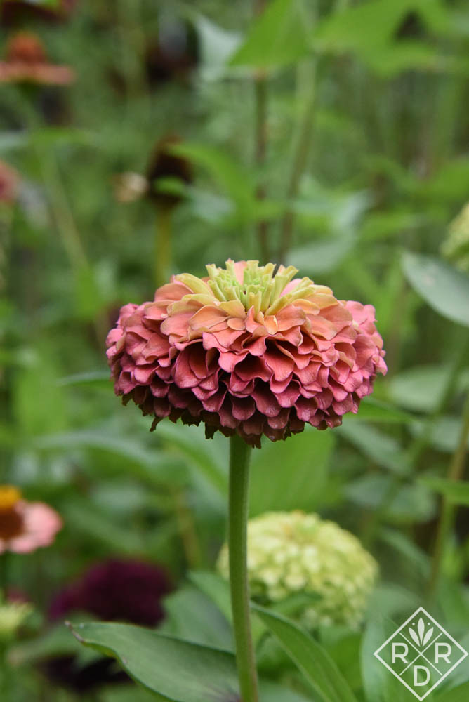 Zinnia 'Queen Red Lime,' which is one of my favorites. Rain.