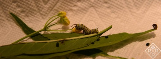 Probably 3rd instar Monarch caterpillar in one of the plastic bins.