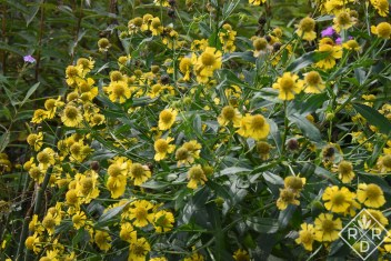 Autumnal sneezeweed has a plethora of flowers that bloom when everything else is tired.