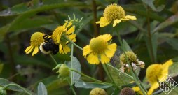 Autumnal sneezeweed up close with a bumblebee.