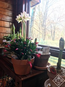 Christmas cactus, amaryllis (Hippeastrum) and paperwhites for natural decor next to the window.
