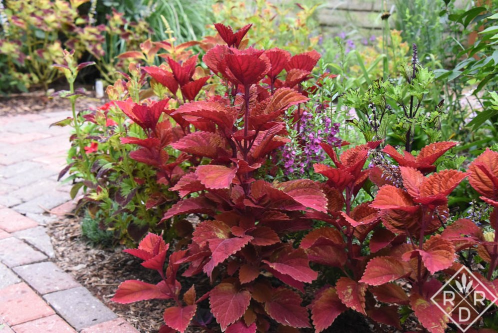 'Big Red' coleus earlier this spring.