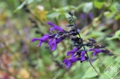 Salvia 'Amistad' is a purple like no other. My only complaint is that the butterflies and other pollinators pass it by here.