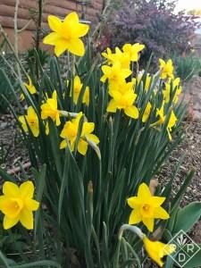 Bright yellow narcissus beneath 'Ogon' spirea.