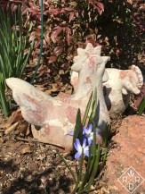 Chickens and chionodoxa; plant more chionodoxa.