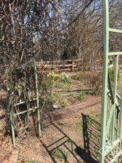 Daffodils through the garden gate.