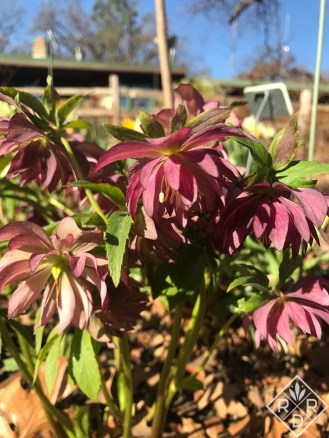 Double purple hellebore