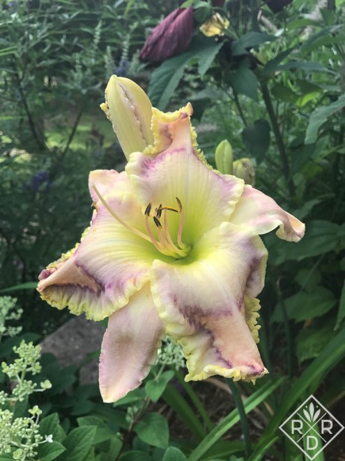 Hemerocallis 'Harmonic Hues' daylily is one of my favorites.