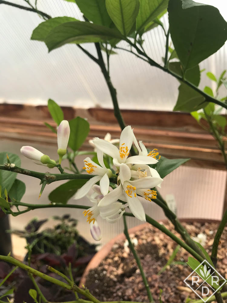 'Meyer' lemon blossom.