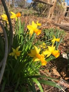 Orange cupped daffodil