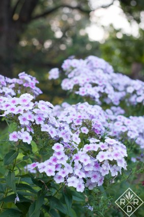 Phlox paniculata 'Bright Eyes' is a butterfly magnet.