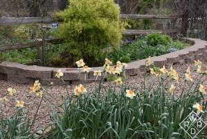 Yellow and orange daffodils nearly finished.