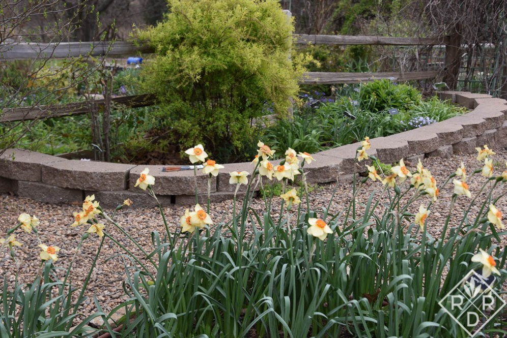 Yellow and orange daffodils nearly finished.