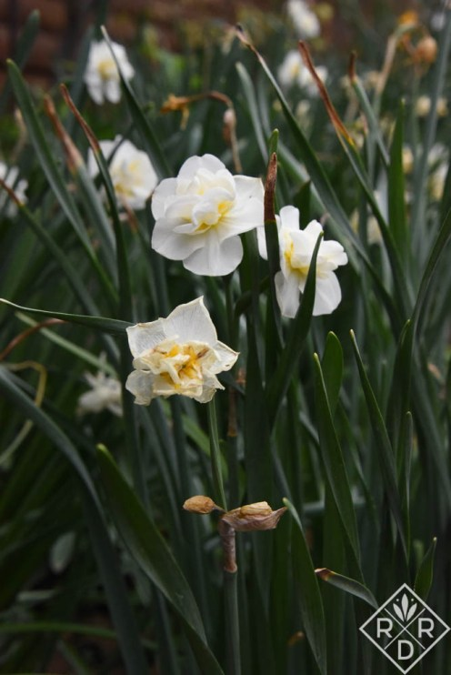 Gorgeous double narcissus a friend sent to me when my roses were ill with Rose Rosette Disease.