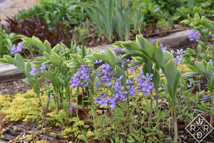 Phlox divaricata and Polygonatum odoratum var. pluriflorum 'Variegatum', variegated Solomon's Seal, look especially pretty together in the shade garden. They are both such great plants, one native to the U.S., the other native to Europe.