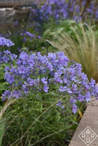Phlox divaricata is the star of my spring garden. It has such beautiful blue or purple color and weaves itself throughout the other bulbs, shrubs and trees. It is a joy.