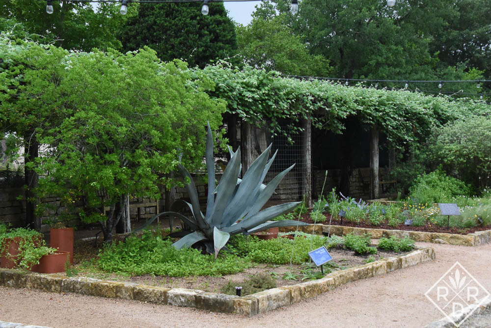 A blue agave stands in the center of a bed in the courtyard at Lady Bird Johnson Wildflower Center.