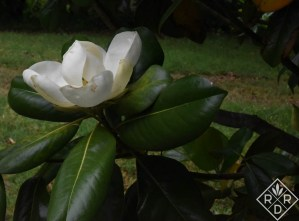 Blossoms on my Magnolia grandiflora smell like lemons this time of year. I planted this tree about 28 years ago as a small sapling. It has flourished, and the bee hive sits just beyond it.